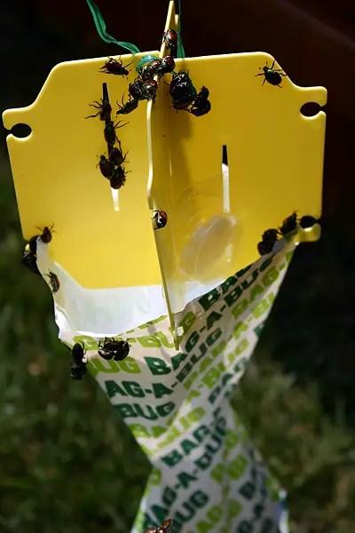 Do Those Bag A Bug Japanese Beetle Traps Really Work
