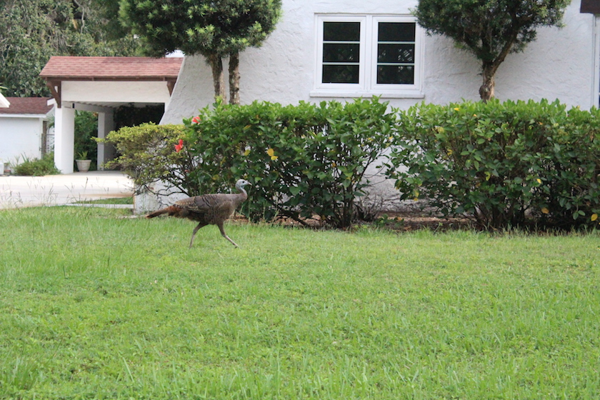 A wild turkey was spotted making the rounds in Gulfport Florida Ward 3 neighborhood Saturday July 11.