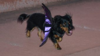 Black and tan dachshund in Halloween costume bat image by Cathy Salustri