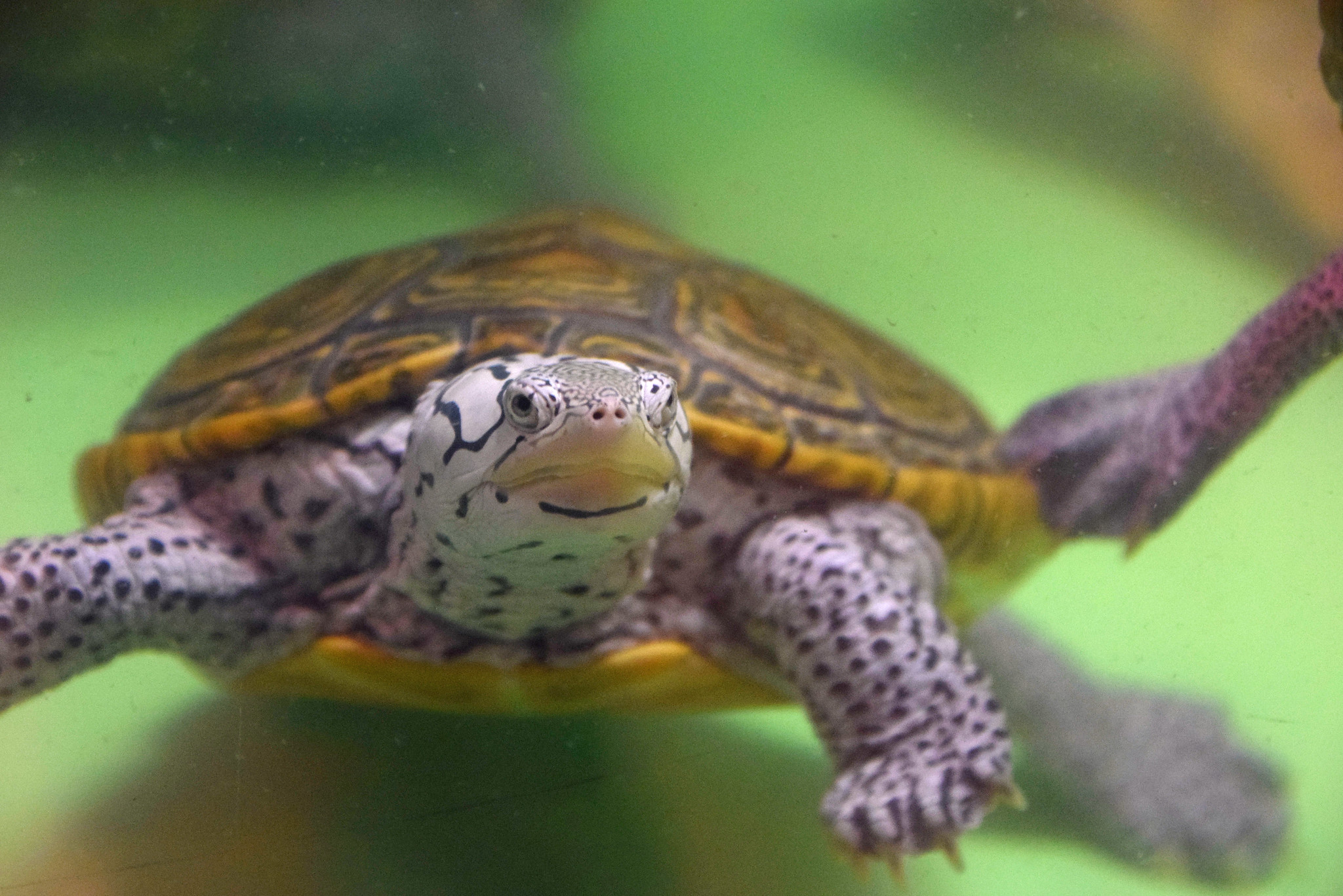 A close up photo of a Diamondback Terrapin