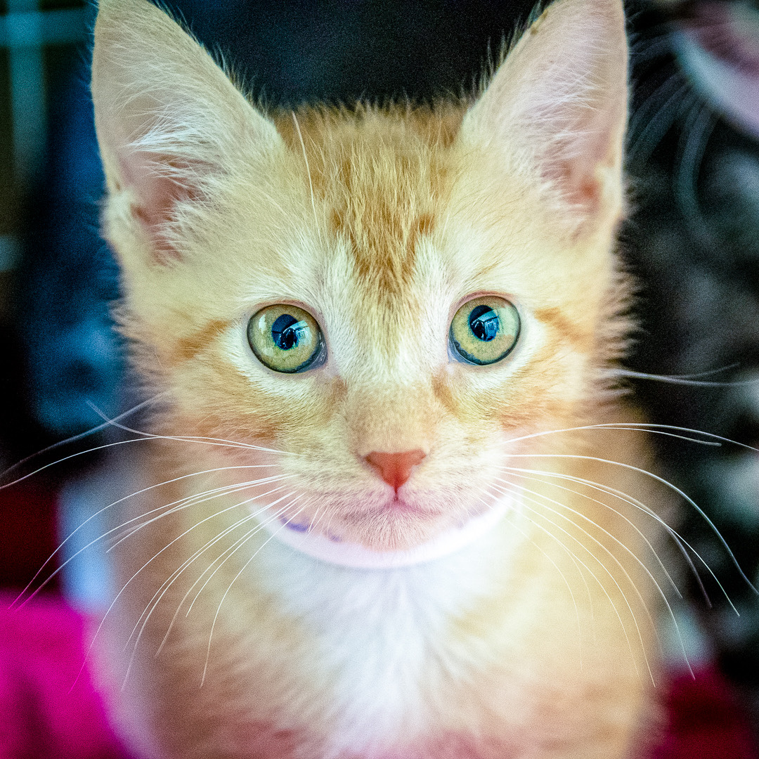 An orange kitten with green eyes.
