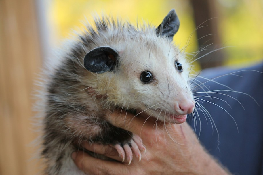 A hand holding a North American Opossum.
