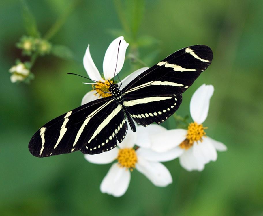A zebra longwing butterfly on Florida native bidens alba