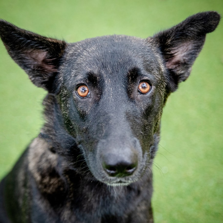 A dark brown dog with long nose, orange eyes and pointy ears looking at the camera