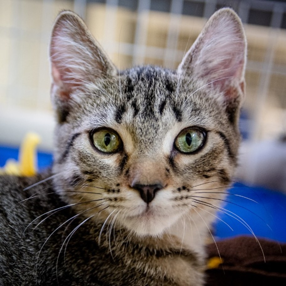 A face shot of a grey tabby cat looking as the camera