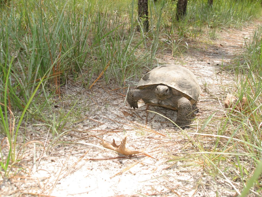 A large gopher tortoise walks on a sandy path through green grass.