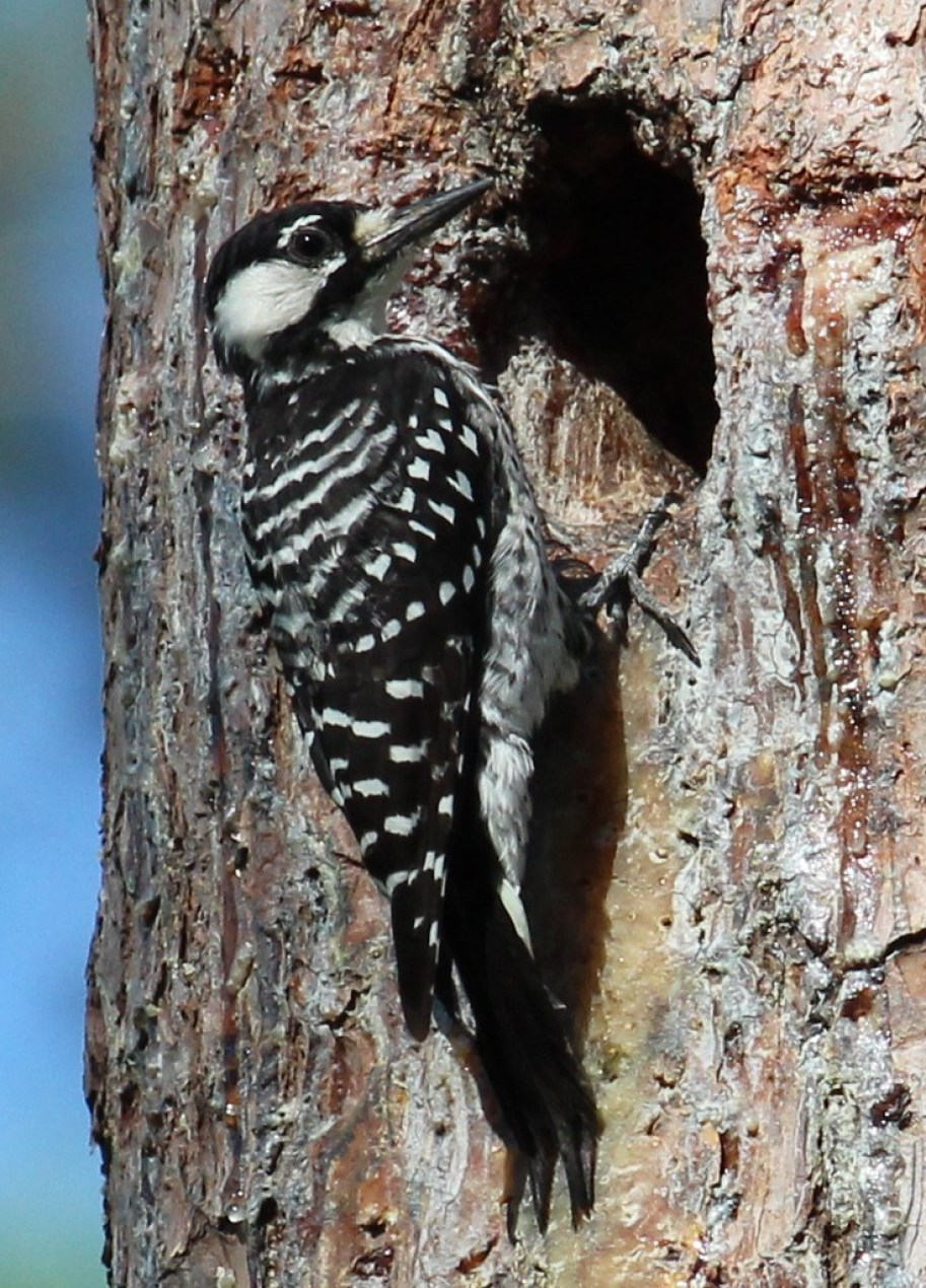 A black and white woodpecker bird at a hole in a tree.