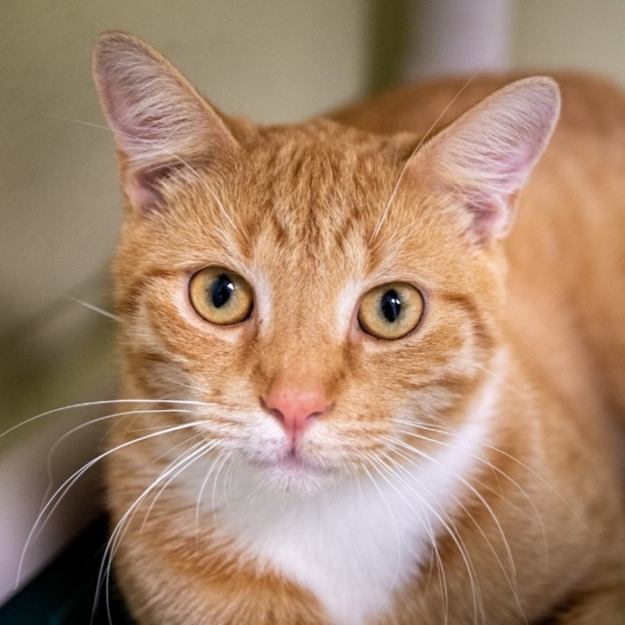 An orange tabby cat looking at the camera