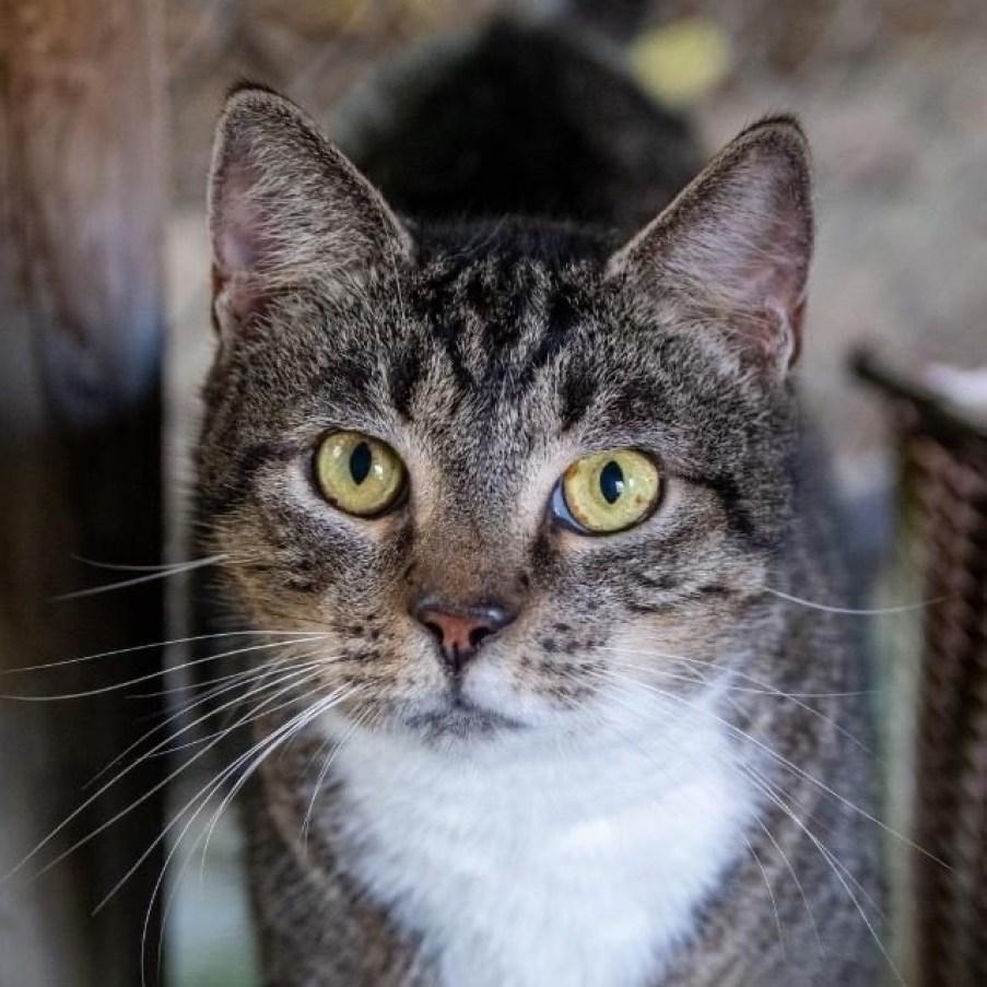 A gray tabby cat