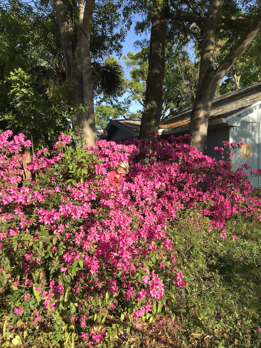A woman hiding in a huge bush of blooming azaleas.