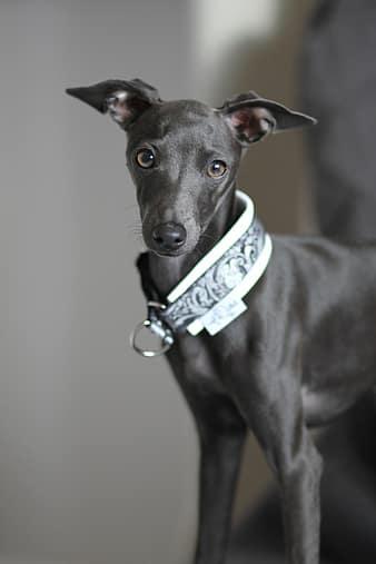 Italian Greyhound portrait.