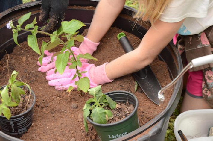 A child's arms and hands with pink gloves planing a green plant in brown soil