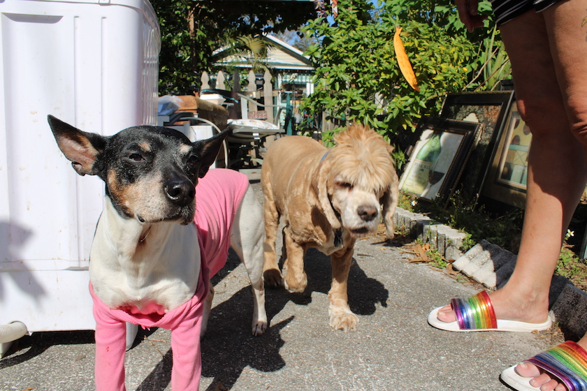 Two dogs walking toward the camera, one in a pink sweater, outdoors.