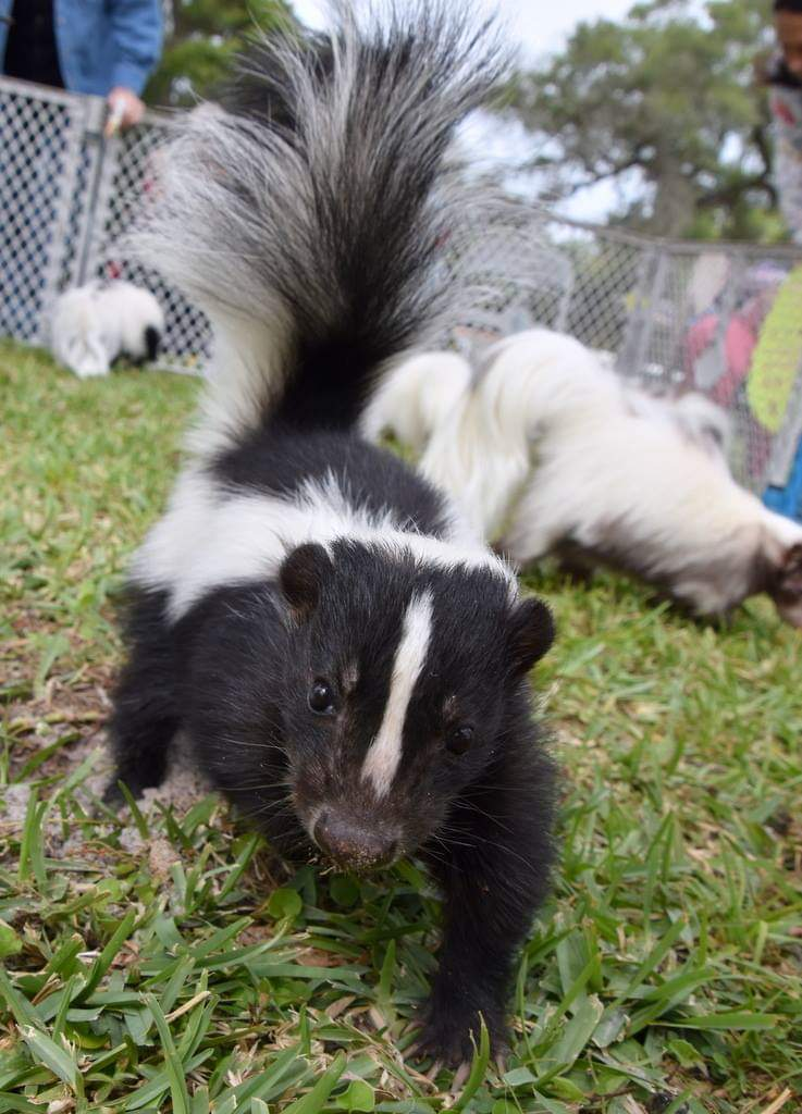 A black and white skunk in a pen
