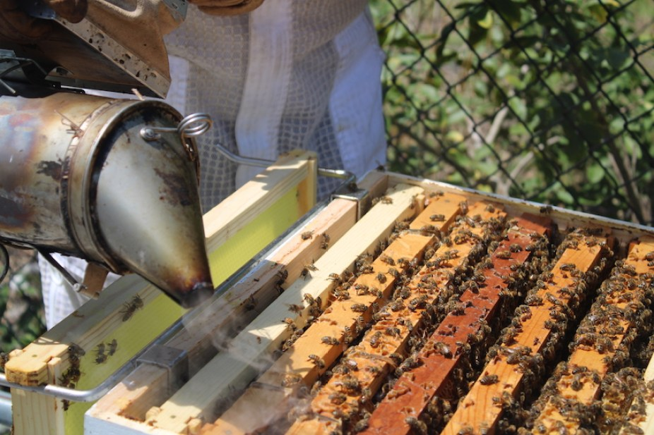 Bees in an artificial wooden hive with the edge of a metal smoker tool