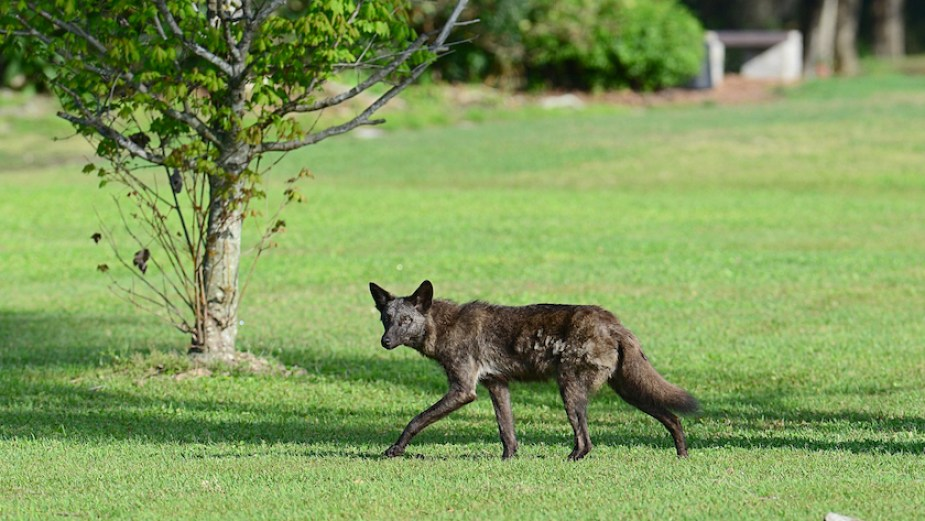 A coyote walking in a large green field by day.