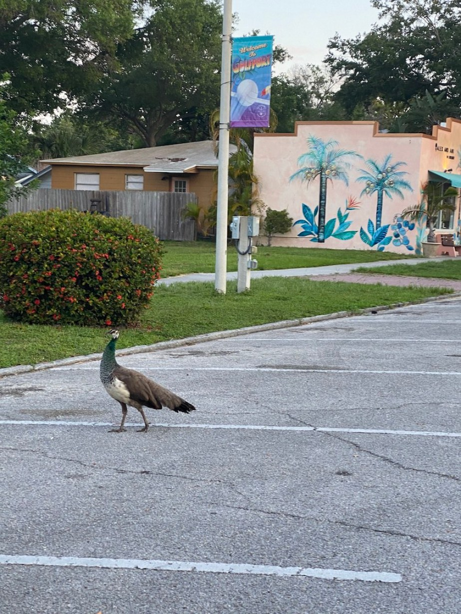 A photo of a peacock walking down a street with building in the back.
