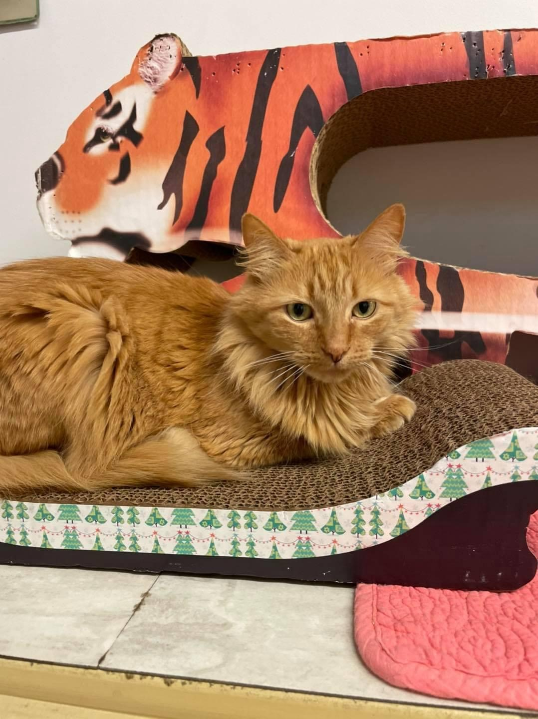A long haired orange cat sitting on a cat bed.