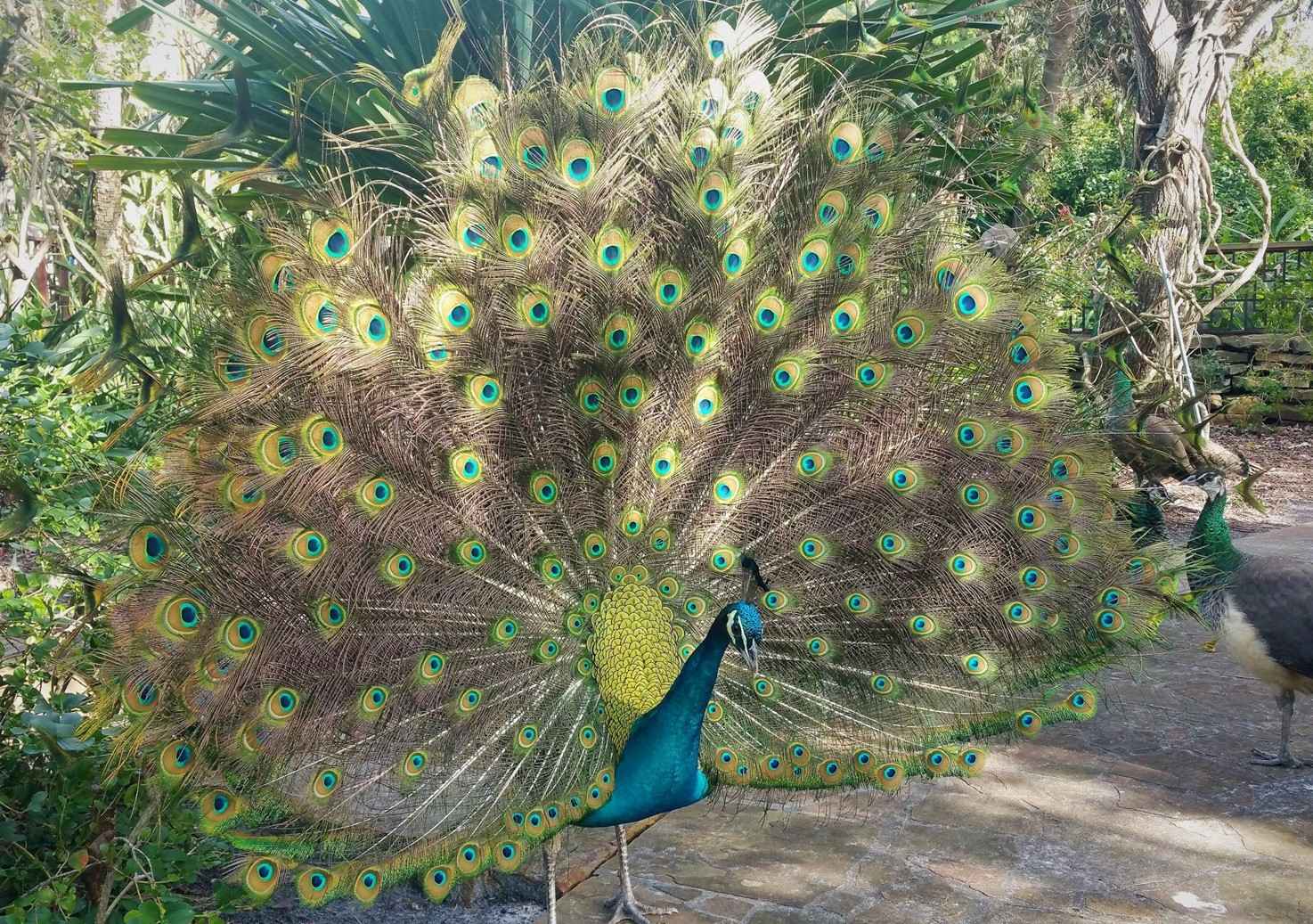 A huge, colorful peacock