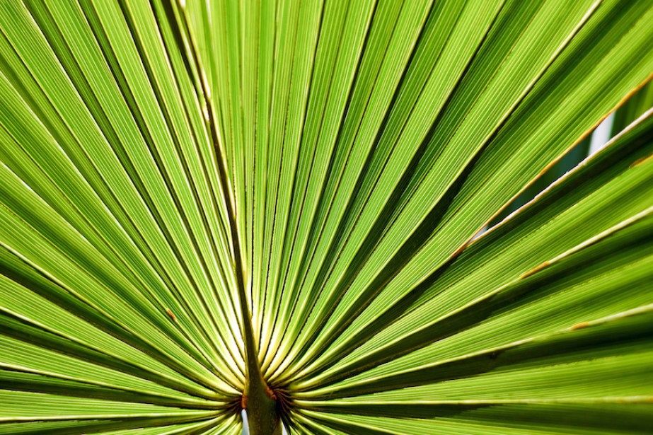 A close up photo of a green palmetto frond.