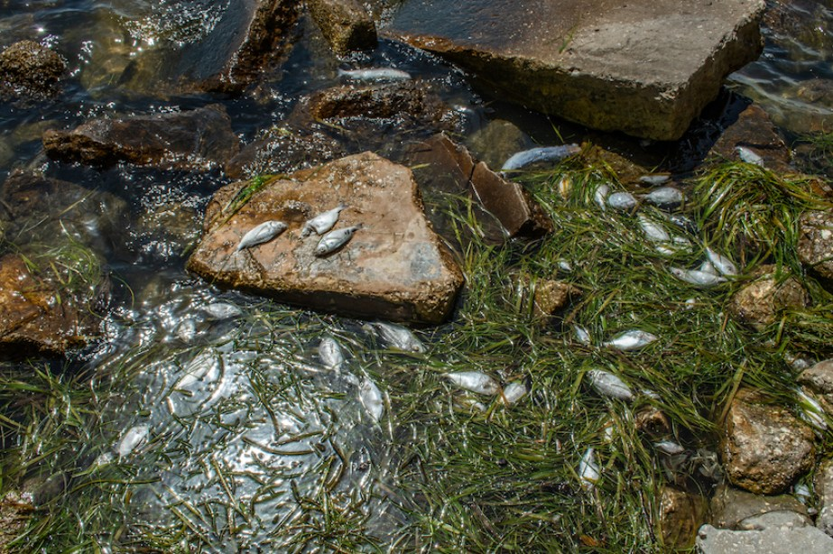 A photo of dead fish floating in the water with rocks and green seaweed.