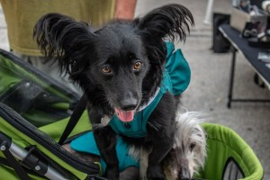 A photo of a small black dog with fluffy ears and tongue out in a blue harness.