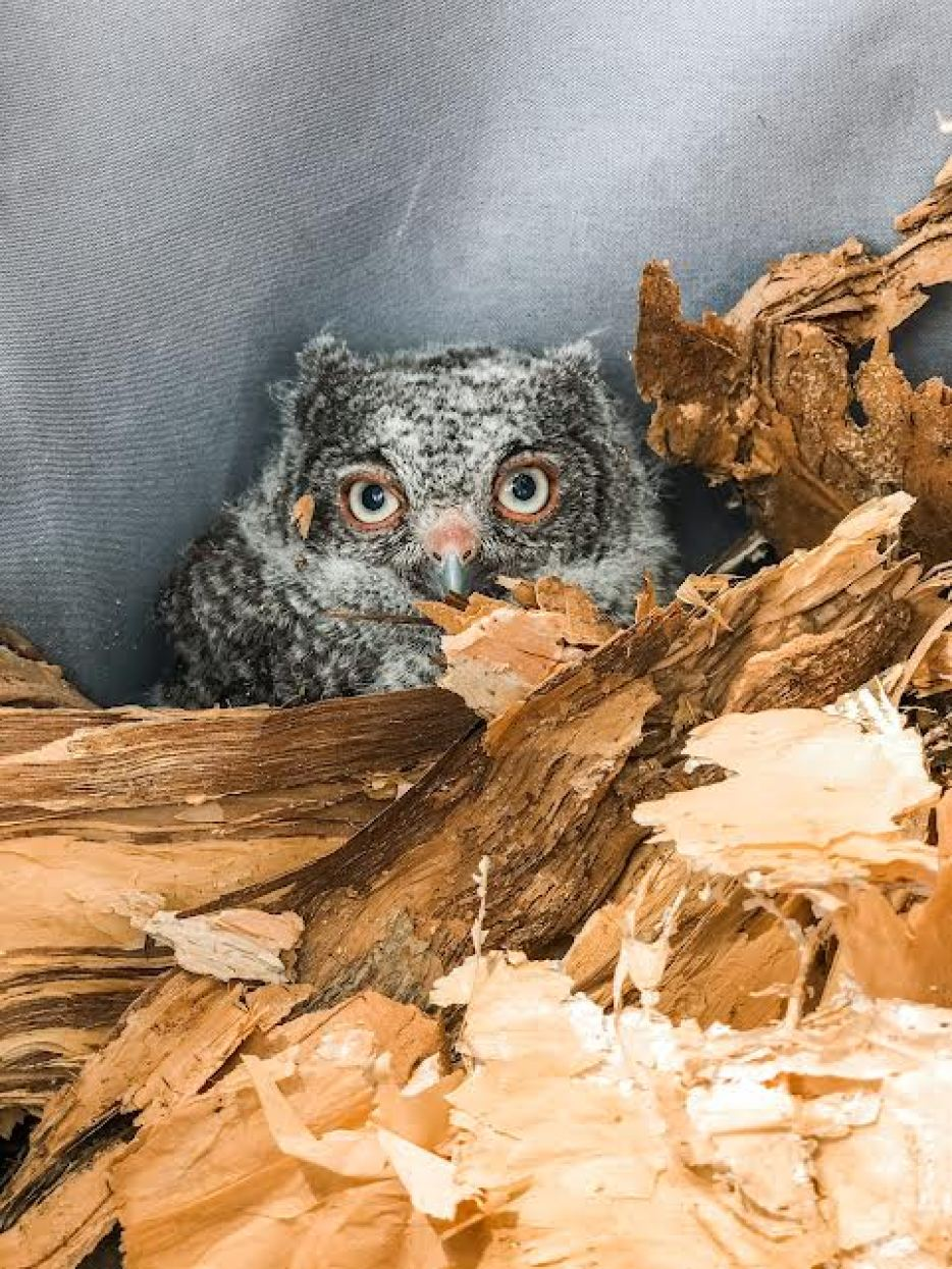 A photo of a gray baby screech owl peeking out of wood chips.