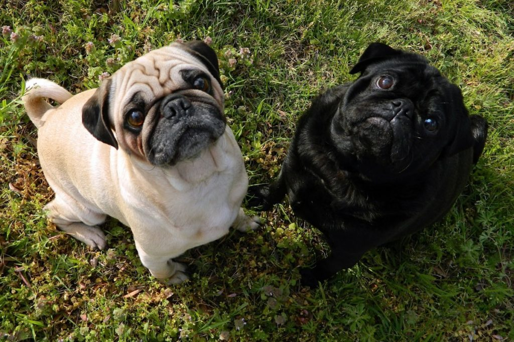 Two pugs, one white one black staring up at the camera