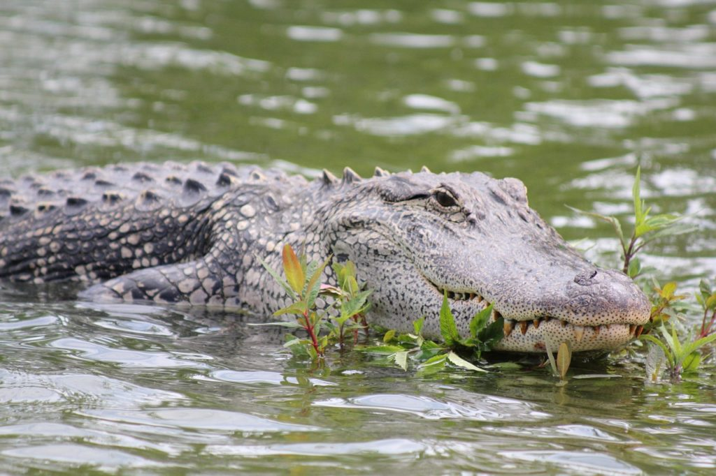A photo of an alligator, partially submerged in brackish water.