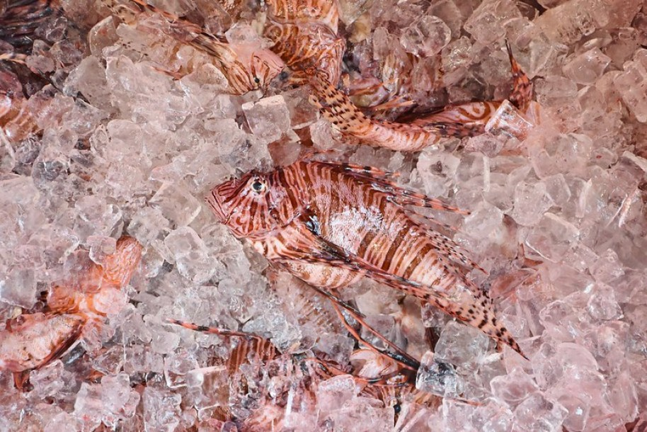 Photo courtesy of the Lionfish on ice. Photo courtesy of the Florida Fish and Wildlife Conservation Commission.