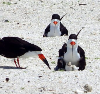 A baby black skimmer is kept close by its attentive parents at an area beach, while other eggs wait to hatch. The chick, photographed Sunday May 31, was among the first born this season. Photo by Troy Koser, anchor bird steward for the St. Petersburg Audubon Society.