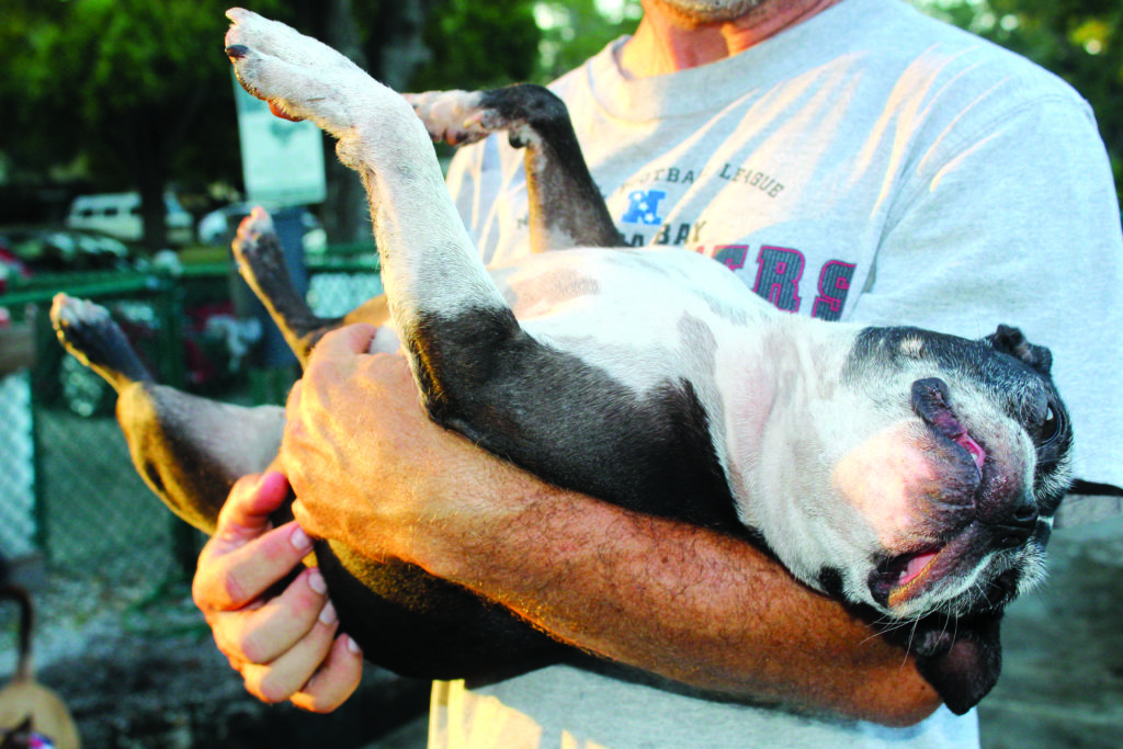 A boston terrier being held in a mans arms