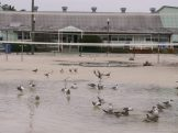 Gulls bathe in huge puddles full of rainwater at the volleyball courts next to the Gulfport Casino on Monday.
