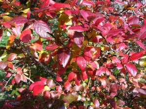Blueberry bush in fall