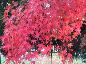 Red Jap Maple