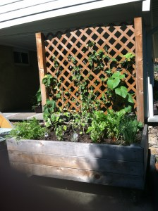 A large container planted with herbs, cucumbers, beans, and lettuce
