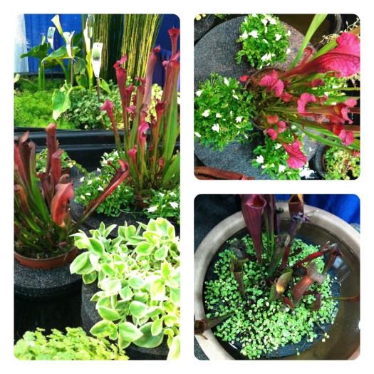Aquatic plants in styrofoam rings