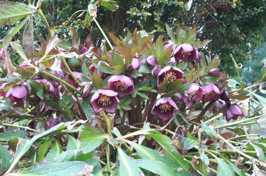 A nice clump of Hellebores