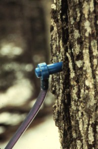 A spile that is hammered into the tree is attached to the tubing