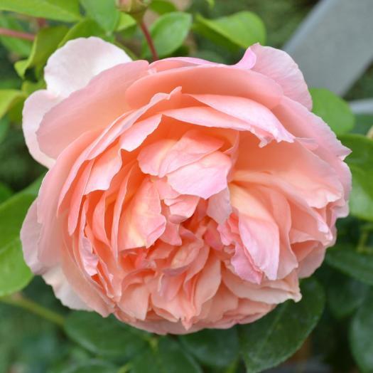 peach-peony-patricia-s