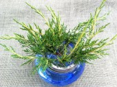Add greenery for a frame and backdrop-This is gold tipped Juniper