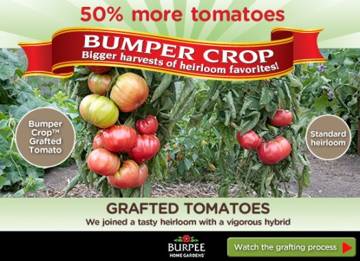 The difference between a grafted and a straight tomato