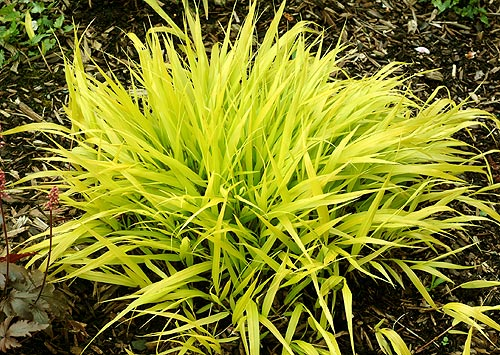 Hakenochloa All Gold
