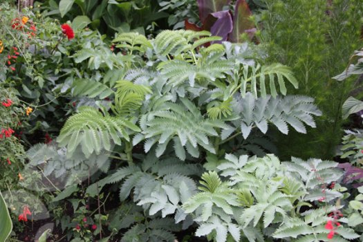 Melianthus major, known for its striking blue green foliage