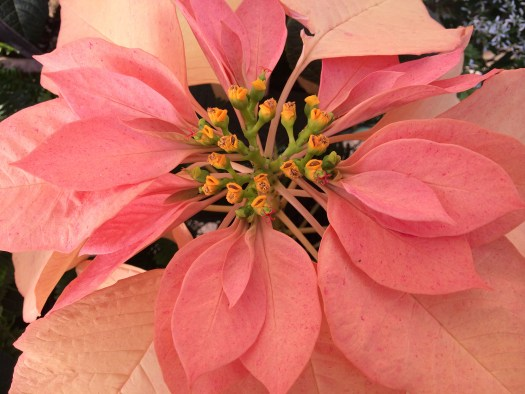 Peach Poinsettia