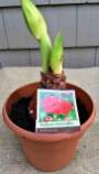 Amaryllis bulb potted up