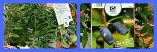 Blue Haskap berry