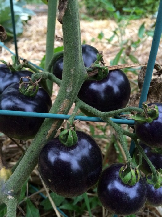 Indigo Apple tomatoes on the vine almost ready to pick