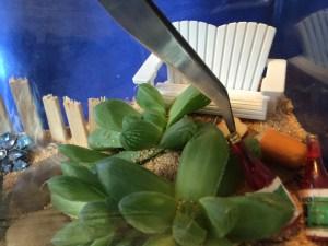 Using tweezers to place minis in beach terrarium