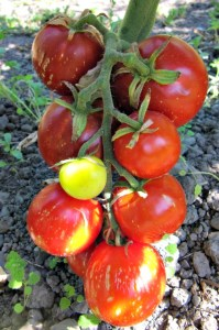 Sweet Carneros Pink Tomato